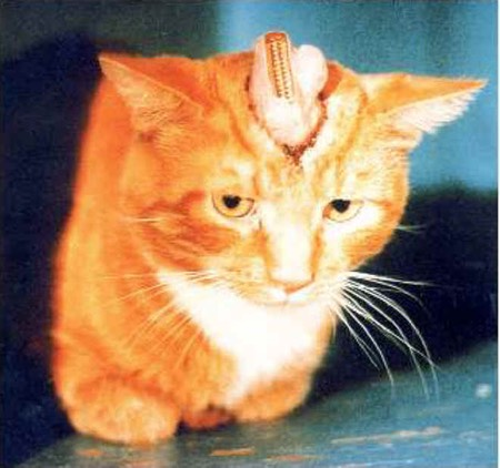 Electrode Implanted Cat (physical mind control)